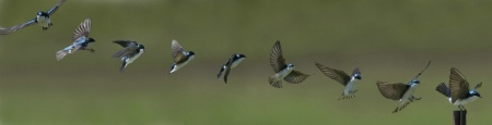 Tree swallow landing
