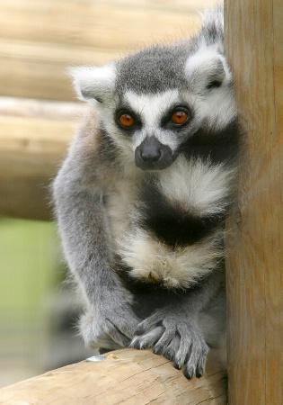 Demure Lemur