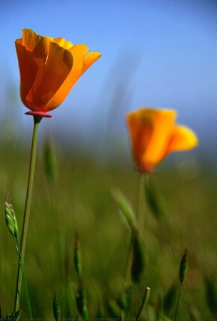 ~golden poppies~