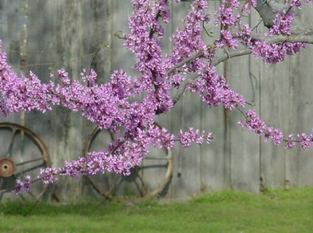 Redbuds and Wheels