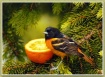 Orchard Oriole at...