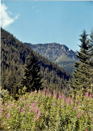 Fireweed and our mountain