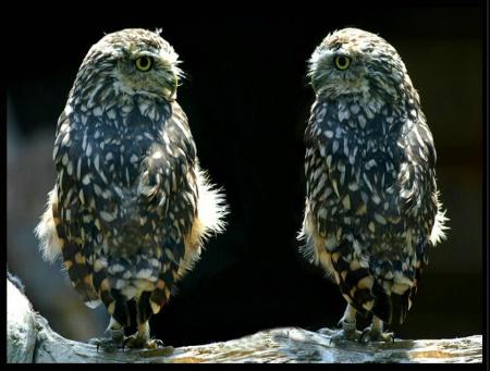 Owl Gossip