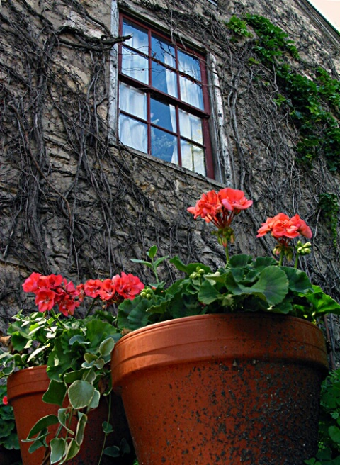 Donnelly House Window & Geraniums