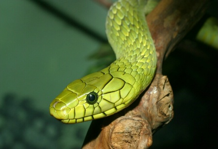 """Allure of the Green Mamba"""