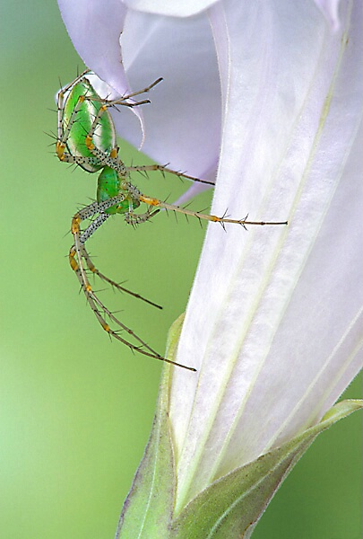 Female Green Lynx Spider