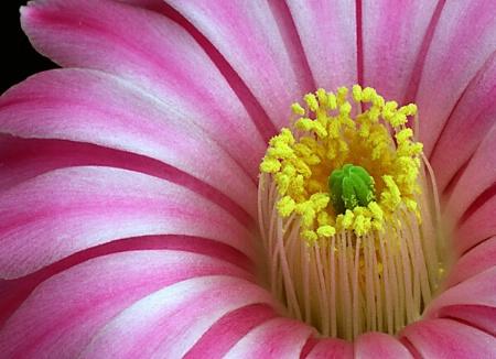 Cactus Blossom Closeup