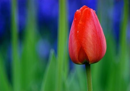 Short Tulip