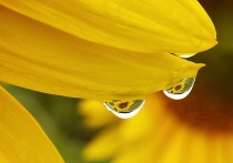 Sunflower droplets