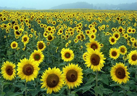 Sunflower sea