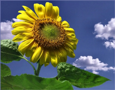 Sunflower on High