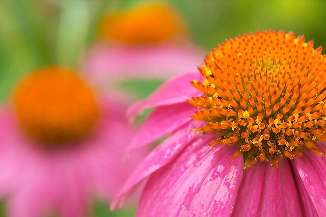 Coneflower triangle