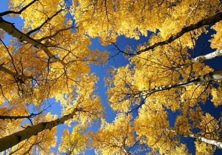 Golden Aspens Above