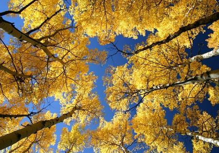 Golden Aspens Above