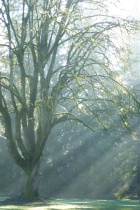 Tree with Sunbeams