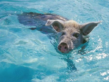 ...when pigs swim...