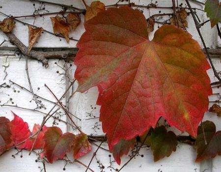 Big Leaf, Little Leaves