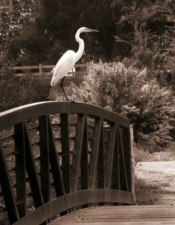 Egret on Railing, After