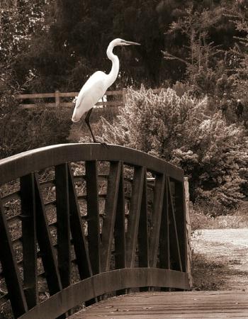 Egret on Railing, After