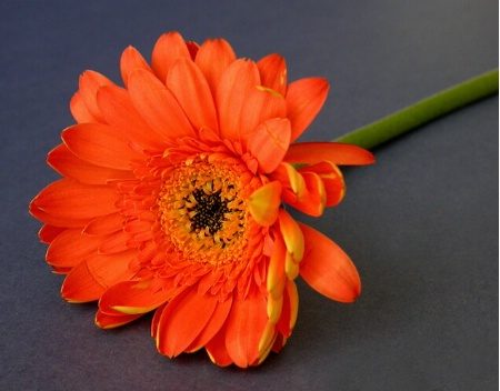 Dark Centred Gerbera