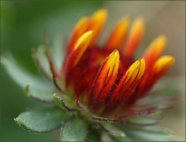 indian blanket fl...