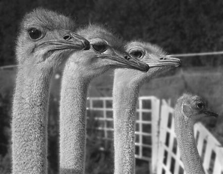 3 1/2 Ostriches