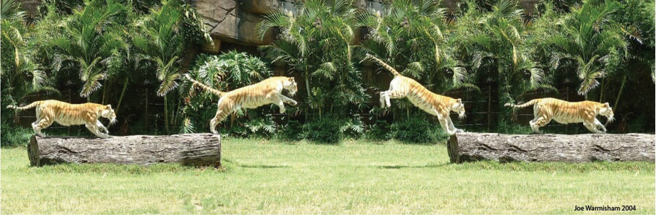JUMPING BENGAL TIGER