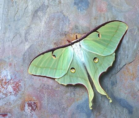 Resting Luna Moth