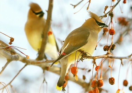 The Waxwings Have Arrived!