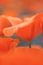 Poppies Macro Nature Photo