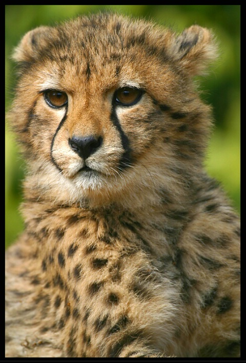 Young Cheetah # 2
