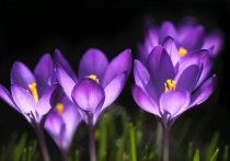 Backlit Crocuses