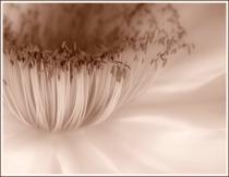 cactus flower II