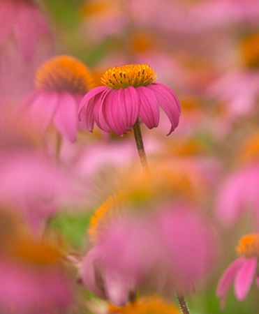 Purple cConeflower