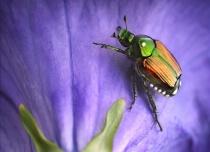 Japanese Beetlema...