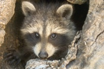 Picture of Baby Racoon By Denise