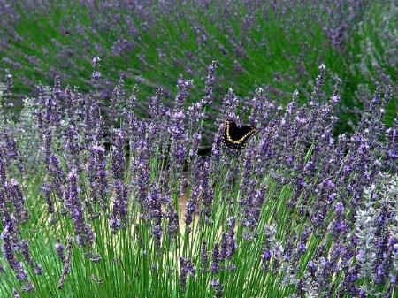 Lavender Visitor