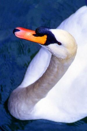 Switzerland  Swan