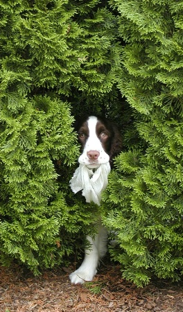 Springer in Hiding