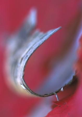 A Birch Curl