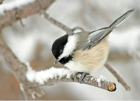 Frosty Chickadee