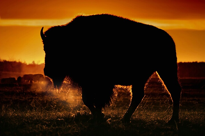 North America Bison