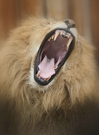 Lion-sized Yawn
