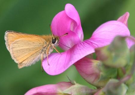 Moth on a Blossom