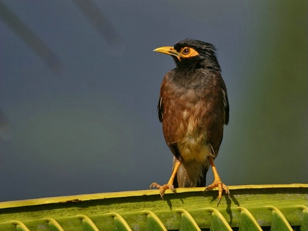 Morning Myna Bird