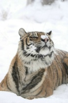 Siberian Tiger with Snow on Nose