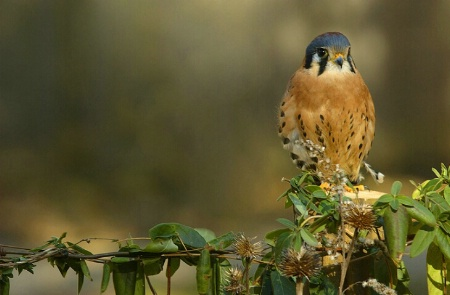 Poised Kestrel