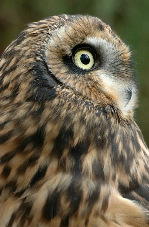 Short-eared Owl Portrait