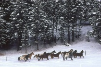 Horses in Snow Country