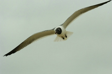 Laughing Gull Flight